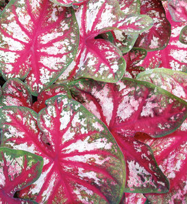 Heart to Heart™ 'Bottle Rocket' - Sun or Shade Caladium - Caladium hortulanum