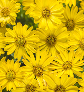 Bright Lights™ Yellow - African Daisy - Osteospermum hybrid
