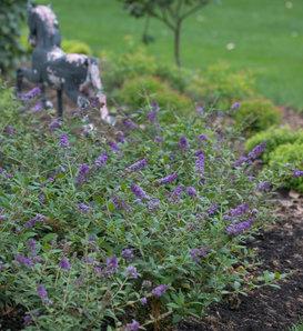 Lo & Behold® 'Blue Chip' - Butterfly Bush - Buddleia x