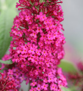 'Miss Molly' - Butterfly Bush - Buddleia x