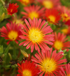 Button Up™ Fire - Trailing Iceplant - Delosperma hybrid