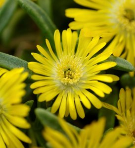 Button Up™ Gold - Trailing Iceplant - Delosperma hybrid