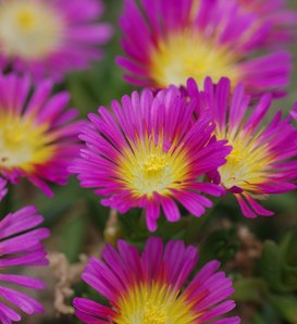 Button Up™ Hot Pink - Iceplant - Delosperma hybrid