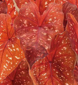 Heart to Heart® 'Burning Heart' - Sun Caladium - Caladium hortulanum
