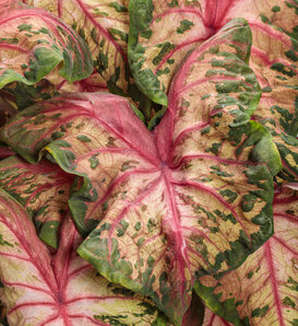 Heart to Heart® 'Clowning Around' - Sun and Shade Caladium - Caladium hortulanum