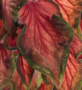Heart to Heart® 'Hot 2 Trot' - Sun and Shade Caladium - Caladium hortulanum