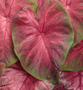 Heart to Heart® 'Hot Flash' - Caladium hortulanum