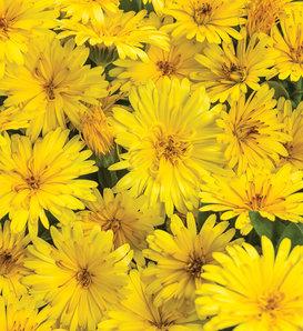 Lady Godiva® Yellow - English Marigold - Calendula hybrid