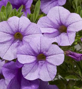 Cruze™ Lavender - Calibrachoa hybrid
