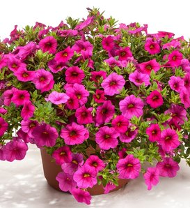 Cruze™ Rose - Calibrachoa hybrid