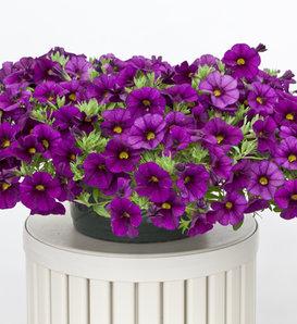 Cruze™ Violet - Calibrachoa hybrid