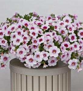 Cruze™ White Pink Eye - Calibrachoa hybrid