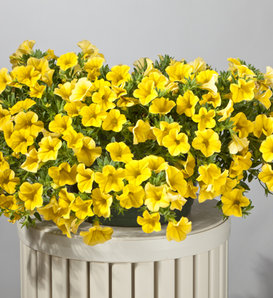 Cruze™ Yellow - Calibrachoa hybrid
