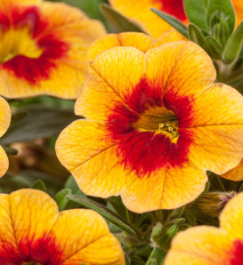 Cruze™ Yellow Red Eye - Calibrachoa hybrid