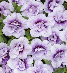 Superbells® Double Twilight™ - Calibrachoa hybrid