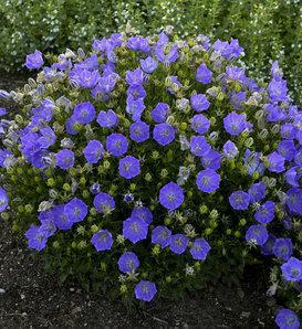 Rapido Blue - Carpathian Bellflower - Campanula carpatica