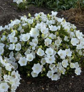 Rapido White - Carpathian Bellflower - Campanula carpatica