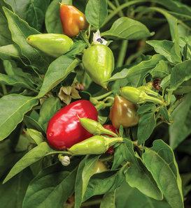 Fire Away® Hot and Heavy - Hot Pepper - Capsicum annuum