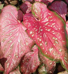 Heart to Heart™ 'Caribbean Coral' - Strap Leaf Caladium - Caladium hortulanum