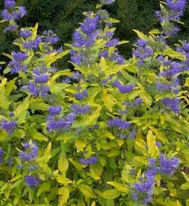 Lil Miss Sunshine® - Bluebeard - Caryopteris x clandonensis