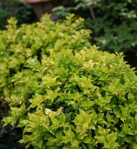Pharos Gold® - Blue Holly - Ilex x meserveae