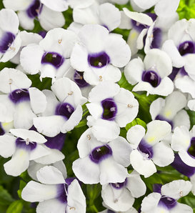 Catalina® Grape-o-Licious™ - Wishbone Flower - Torenia hybrid