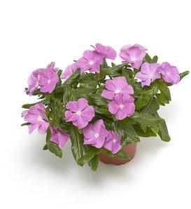 Cora® Cascade Lavender with Eye® - Vinca - Catharanthus roseus
