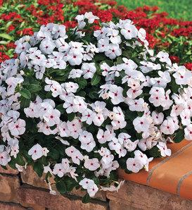 Cora® Cascade Polka Dot - Vinca - Catharanthus roseus