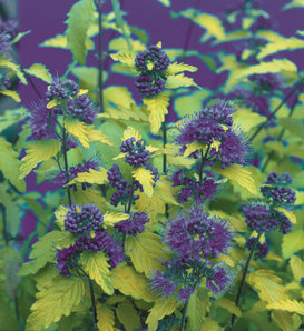 Sunshine Blue® - Bluebeard - Caryopteris incana