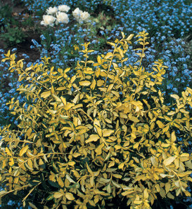 Blondy® - Wintercreeper - Euonymus fortunei