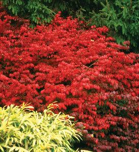Fire Ball® - Burning Bush - Euonymus alatus