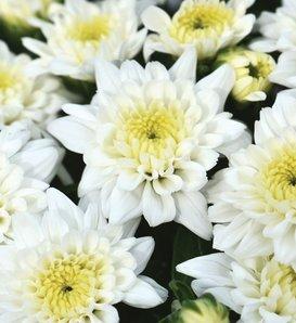 Celestial White Garden Mum - Chrysanthemum grandiflorum