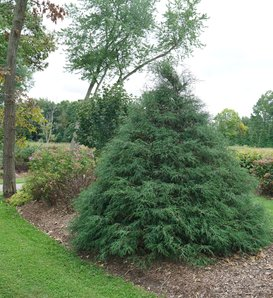 Haywire™ - False Cypress - Chamaecyparis lawsoniana
