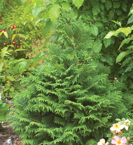 Soft Serve® - False Cypress - Chamaecyparis pisifera