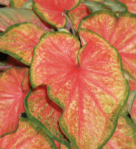 Heart to Heart® 'Chinook' - Sun or Shade Caladium - Caladium hortulanum