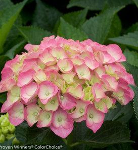 Cityline® Berlin - Bigleaf Hydrangea - Hydrangea macrophylla