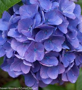 Cityline® Vienna - Bigleaf Hydrangea - Hydrangea macrophylla