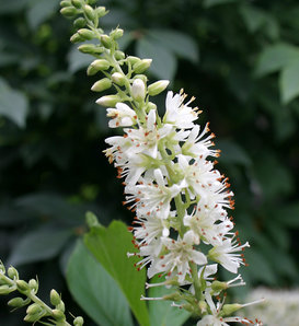 Sugartina® 'Crystalina' - Summersweet - Clethra alnifolia