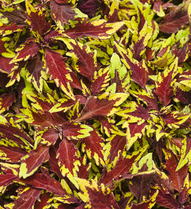 ColorBlaze® Royale Apple Brandy® - Coleus - Plectranthus scutellarioides