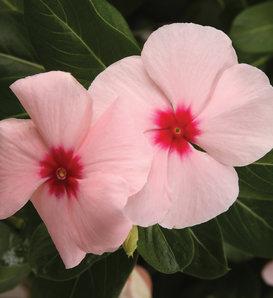 Cora® Apricot - Vinca - Catharanthus roseus