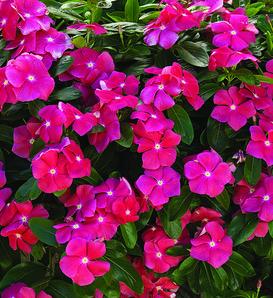 Cora® Cascade Cherry - Vinca - Catharanthus roseus