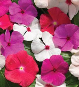 Cora® Cascade Mix - Vinca - Catharanthus roseus