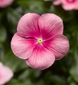 Cora® Cascade Shell Pink® - Vinca - Catharanthus roseus