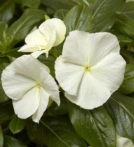 Cora® Cascade White® - Vinca - Catharanthus roseus