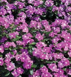 Cora® Deep Lavender - Vinca - Catharanthus roseus