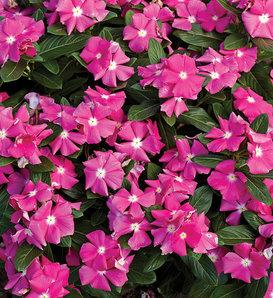 Cora® Pink - Vinca - Catharanthus roseus