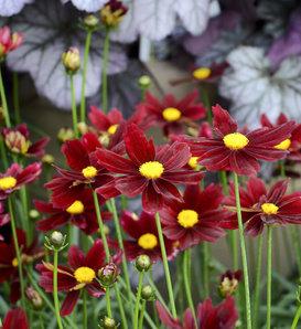 Li'l Bang™ Red Elf - Tickseed - Coreopsis hybrid