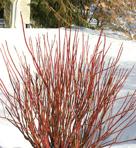 Arctic Fire® Red - Red-Osier Dogwood - Cornus stolonifera