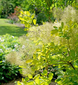 Winecraft Gold® - Smokebush - Cotinus coggygria