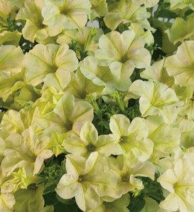 Crazytunia® Bitter Lemon - Petunia hybrid